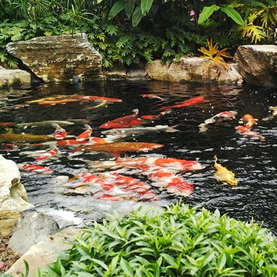 Hồ cá koi kết hợp tiểu cảnh sân vườn